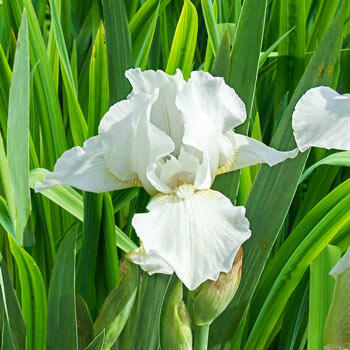 Low Ho Silver Dwarf Bearded Iris