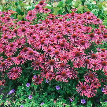Lots of Purple Spoons Coneflower