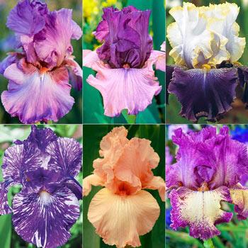 Pink & Purple Bearded Iris Collection