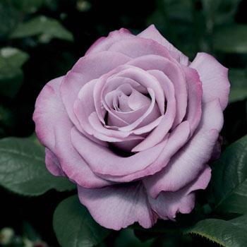 Neptune™ Hybrid Tea Rose