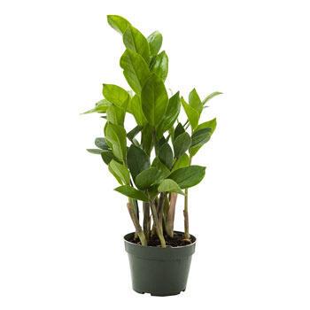 ZZ plant in Nursery Pot