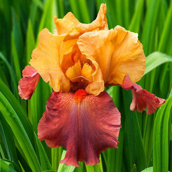 Lovely Senorita Bearded Iris