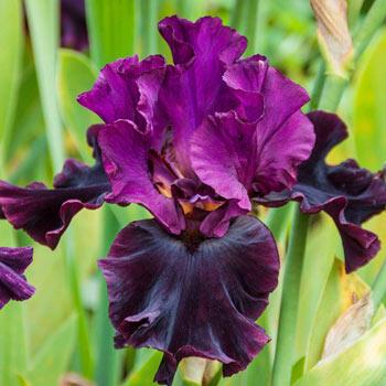 Silken Trim Bearded Iris