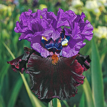 I'm Back Reblooming Bearded Iris