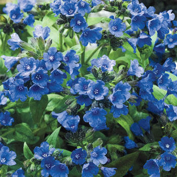 Blue Lake Lungwort