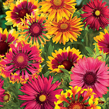 Sunny Gaillardia Collection