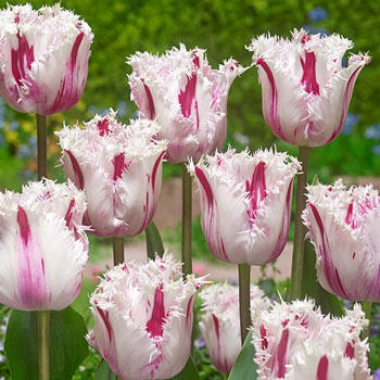 Coldplay Tulip