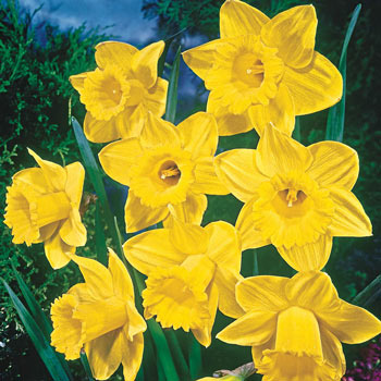 Yellow Trumpet Daffodil Super Sak®