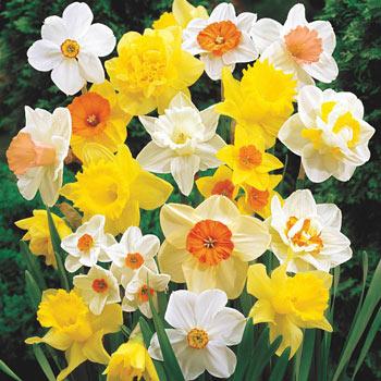 Mixed Daffodil Super Sak<sup>®</sup>