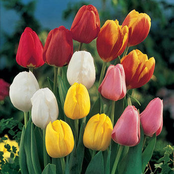 Perennial Tulip Mixture Super Sak<sup>®</sup>