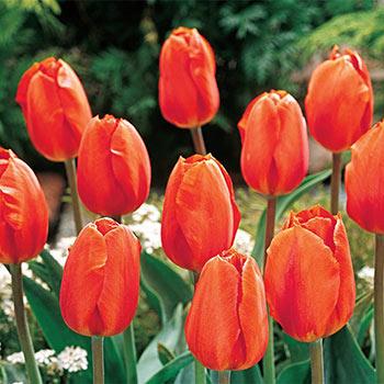 Lightning Sun Tulip