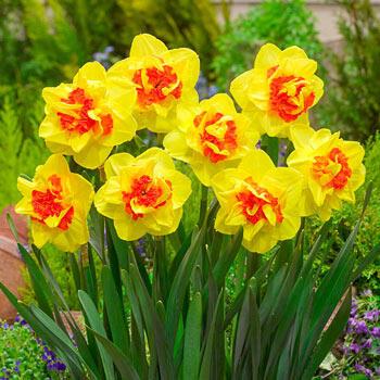 Vulcanello Daffodil