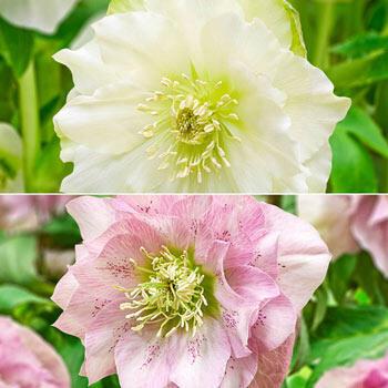 Double-Bloom Wow!® Hellebore Duet