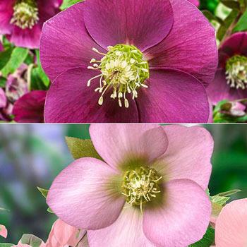 Single-Bloom Wow!® Hellebore Duet