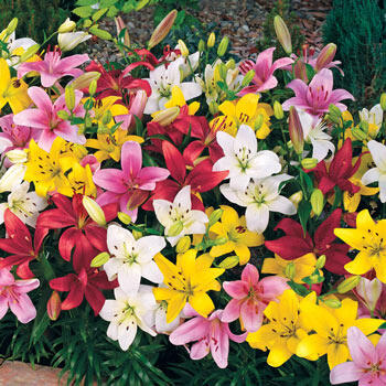 Carpet Border Lily<sup>™</sup> Mixture
