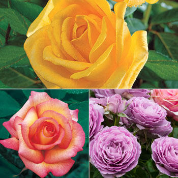 Rose Garden Collection - 3 Plants