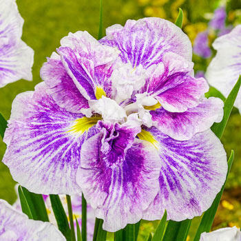 Cheesecake Japanese Iris