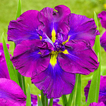 Blueberry Pie Japanese Iris