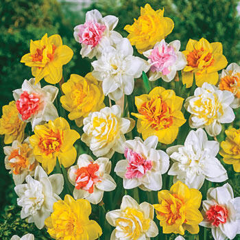 Double Daffodil Mixture Super Sak®