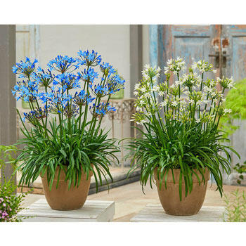 Summer Love™ Agapanthus Collection