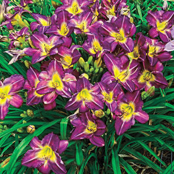 Garden Show Reblooming Daylily