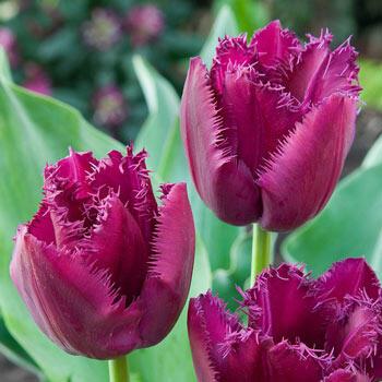 Curly Sue Tulip