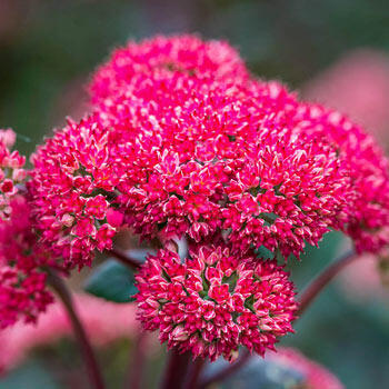 Red Cauli Sedum
