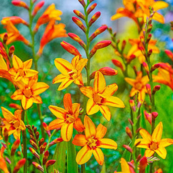 Fire Jumper Crocosmia