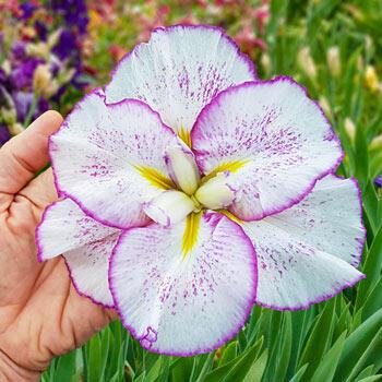 Tiramisu Dinner Plate<sup>™</sup>  Japanese Iris