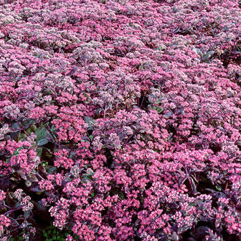 Diamond Sedum