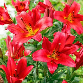 Sensi Lily Tree<sup>®</sup>