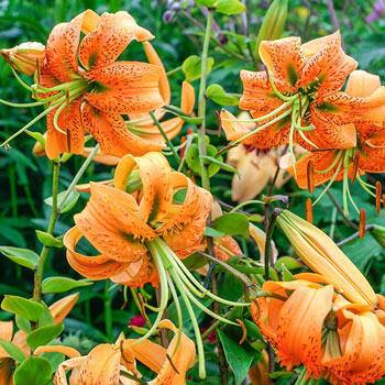 Henry's Lily