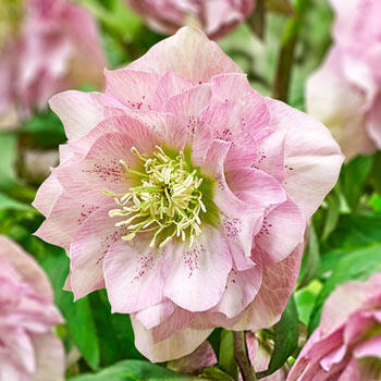 Pink Frost Double Hellebore