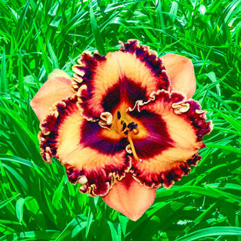 Incandescent Daylily