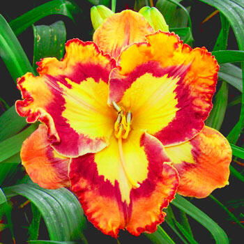 Sunburst Splashes Reblooming Daylily