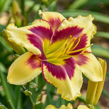 Star of the North Reblooming Daylily