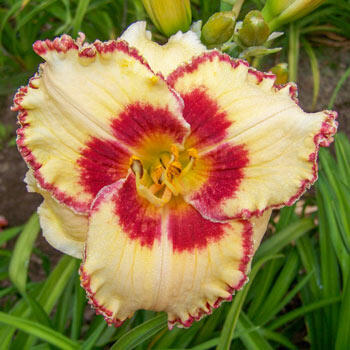 Whirling Rainbows Daylily