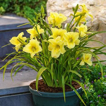 Fragrant Returns Reblooming Daylily