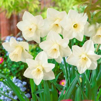 Desdemona Daffodil