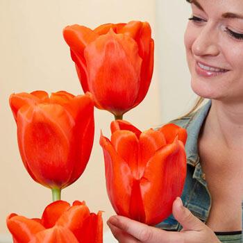 Giant Orange Sunrise Tulip