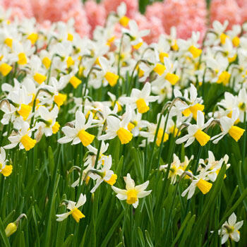 Jack Snipe Daffodil