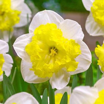 Printal Daffodil