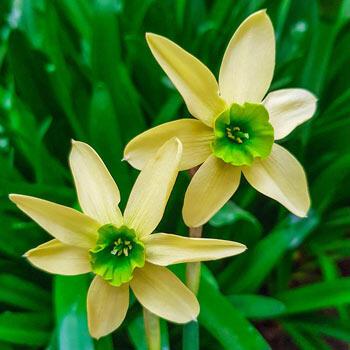 Green with Envy™ Daffodil