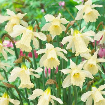 W.P. Milner Daffodil
