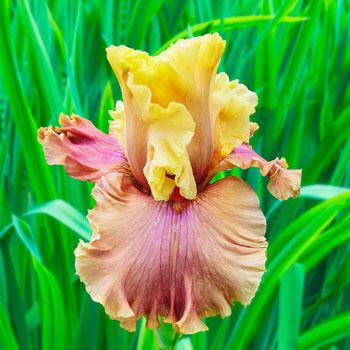 Glamazon Bearded Iris