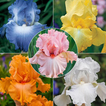 Breck's<sup>®</sup> Reblooming Iris Collection