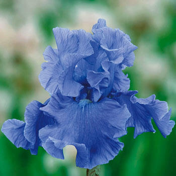 Deschutes Bearded Iris