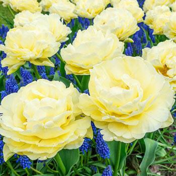 Avant Garde Tulip