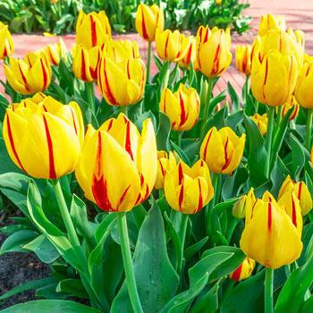 Freedom Flame Tulip
