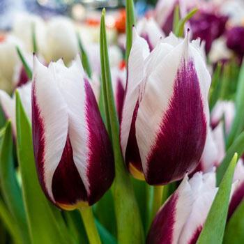 Spitsbergen Tulip